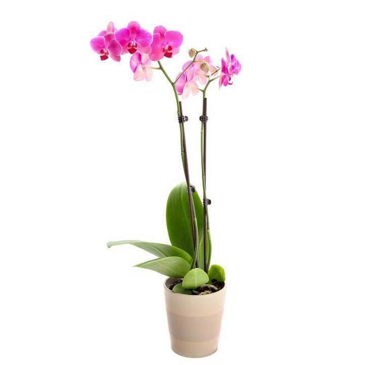 Orchidée Phalaenopsis Fushia