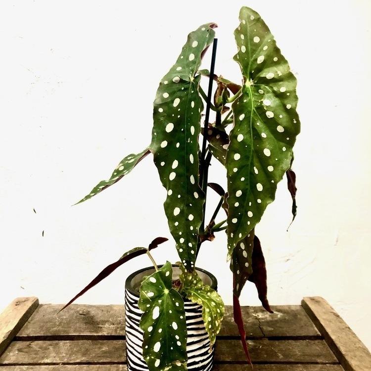 Tamaya : le Begonia maculata