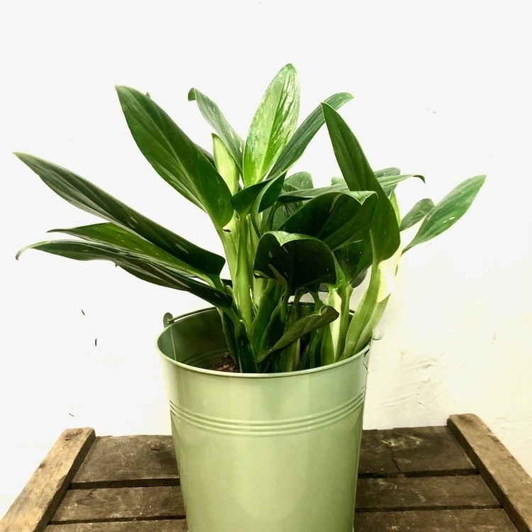 Le Philodendron