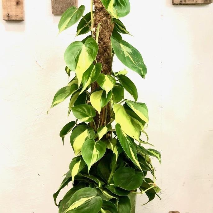 Le Philodendron Sandera